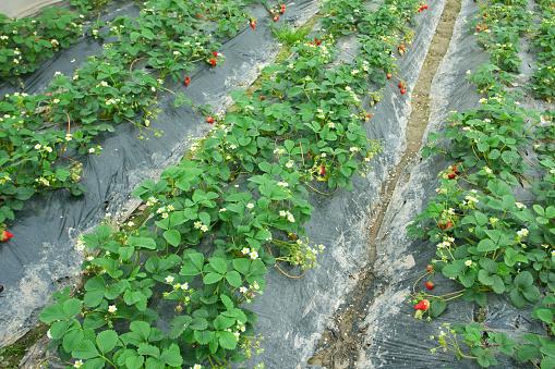 Planting「strawberry field」:スマホ壁紙(12)