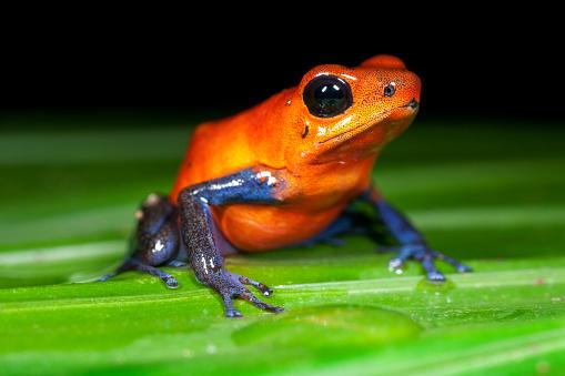 Central America「Strawberry Poison Dart Frog in Costa Rica」:スマホ壁紙(17)