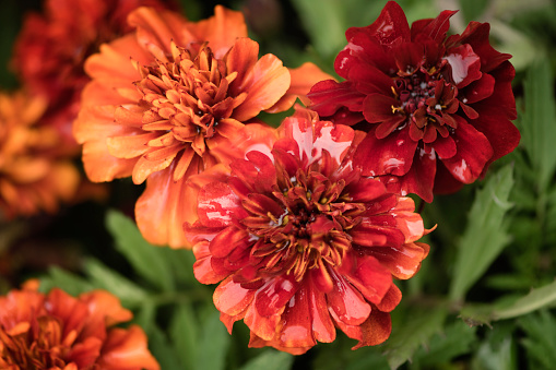flower「Strawberry Blonde Marigold Flowers Covered with Water Drops」:スマホ壁紙(11)