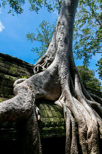 Ta Prohm Temple「Tree at Ta Prohm, Angkor, Cambodia」:スマホ壁紙(18)