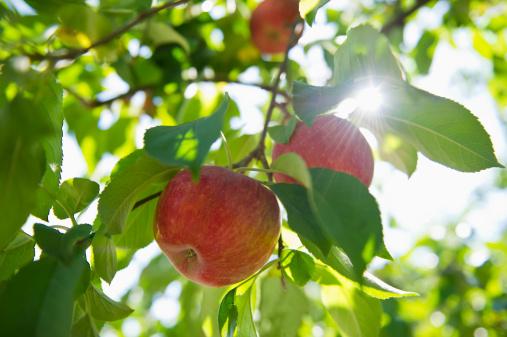 リンゴ「USA, New York State, Hudson, Apples growing on tree in orchard」:スマホ壁紙(11)