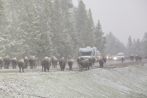 Cattle「Bison traffic jam in Yellowstone NP in spring」:スマホ壁紙(17)