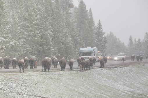野生動物「Bison traffic jam in Yellowstone NP in spring」:スマホ壁紙(14)