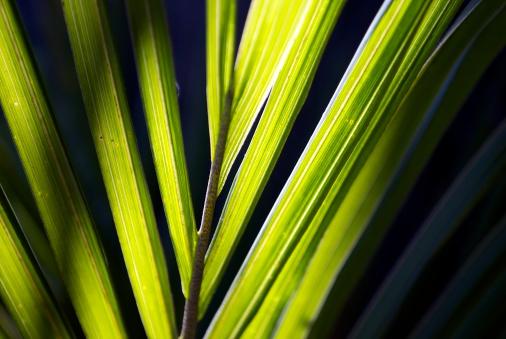 New Zealand Culture「Sunlit Nikau (Rhopalostylis sapida) Palm, New Zealand」:スマホ壁紙(19)