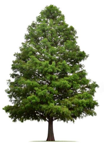 Single Tree「Bald Cypress Tree」:スマホ壁紙(0)