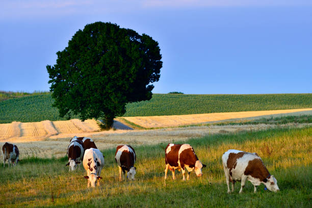 Cows Herd at Autumn Farm:スマホ壁紙(壁紙.com)