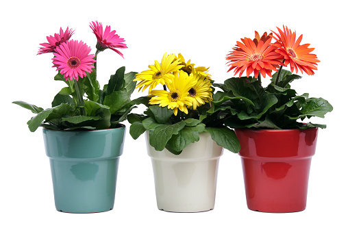 Planting「Colorful Gerbera Daisies, Potted Plants in Pottery on White Background」:スマホ壁紙(12)
