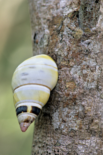 snails「Liguus Tree Snail on tree trunk, Everglades National Park, Florida, USA」:スマホ壁紙(3)