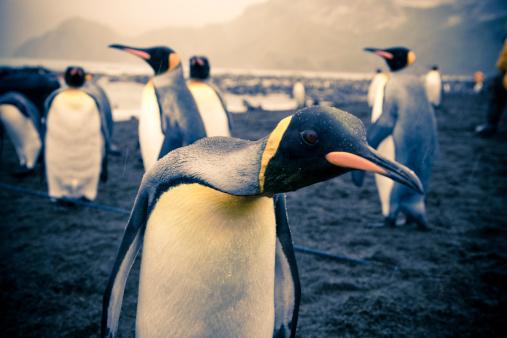 Large Group Of Animals「Curious Penguin」:スマホ壁紙(3)