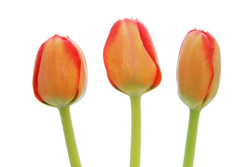 flower「Three orange tulip (Tulipa sp.) against white background, close up.」:スマホ壁紙(12)