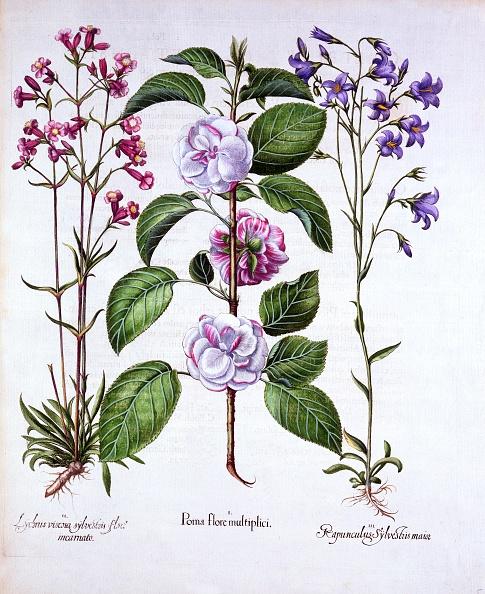 Basil「Double Flowered Apple」:写真・画像(7)[壁紙.com]