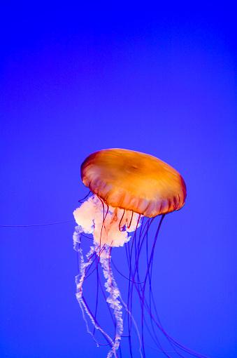Monterey Bay「Lion's Mane Jellyfish (Cyanea Capillata), Monterey Bay, Aquarium, California」:スマホ壁紙(15)