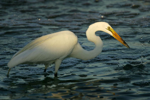Animals Hunting「Migratory Birds Expected To Bring Avian Flu To West Coast」:写真・画像(5)[壁紙.com]
