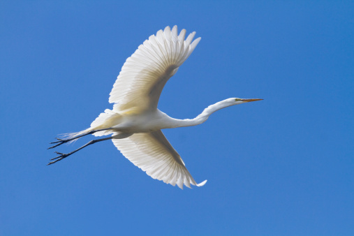 Monterey Bay「Great Egret near Rookery」:スマホ壁紙(18)