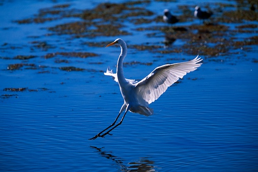 Choosing「Great Egret landing」:スマホ壁紙(15)