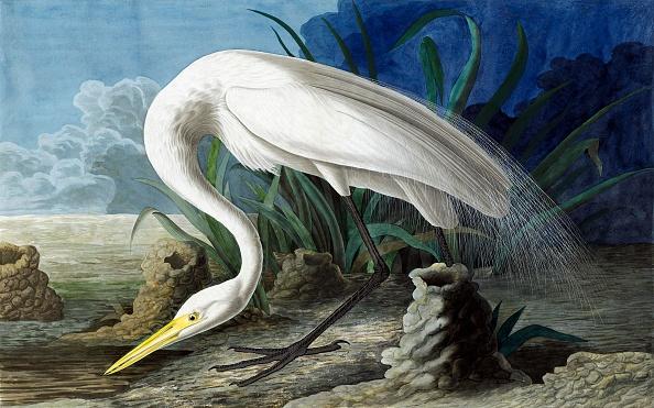 Animals Hunting「Great Egret」:写真・画像(19)[壁紙.com]