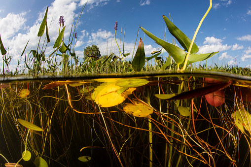 Water Lily「Lily pads grow along the shallow edge of a freshwater lake in New England.」:スマホ壁紙(14)