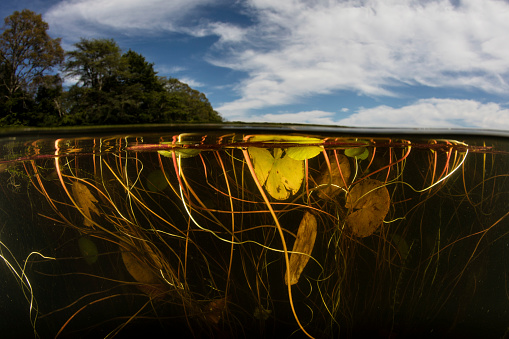 Water Lily「Lily pads grow along the shallow edge of a freshwater lake in New England.」:スマホ壁紙(13)