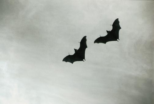 コウモリ「Two Bats Flying in Sky」:スマホ壁紙(3)