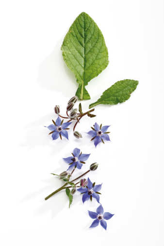 紫「Borage with flowers (Borago officinalis), elevated view」:スマホ壁紙(12)