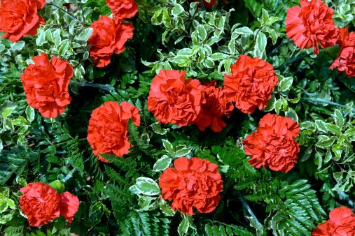 カーネーション「明るい carnations」:スマホ壁紙(16)