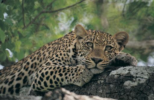 Endangered Species「Leopard (Panthera pardus) lying in tree」:スマホ壁紙(9)