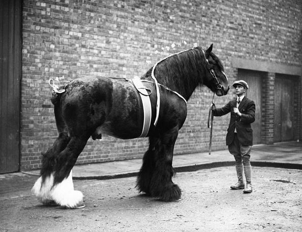 Domestic Animals「Shire Horse」:写真・画像(17)[壁紙.com]