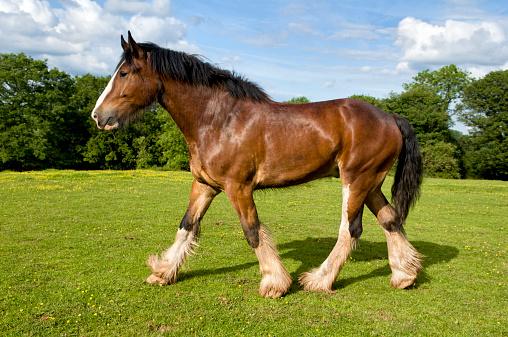 Horse「Shire horse trotting in field」:スマホ壁紙(3)