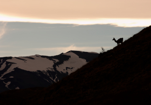 Guanaco「Chile, Patagonia, Torres del Paine, Guanacos (Lama guanicoe) standing on hillside」:スマホ壁紙(7)