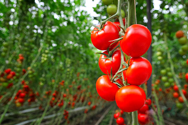 Tomato Greenhouse:スマホ壁紙(壁紙.com)