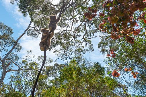 Branch - Plant Part「Koalas, Belair National Park, Adelaide, Australia」:スマホ壁紙(18)