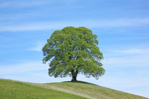 Single Tree「Solitary tree」:スマホ壁紙(2)