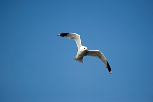 Herring Gull「Seagull in flight」:スマホ壁紙(14)