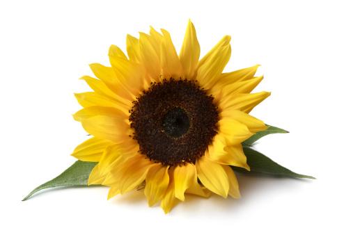ひまわり「花: サンフラワー」:スマホ壁紙(8)
