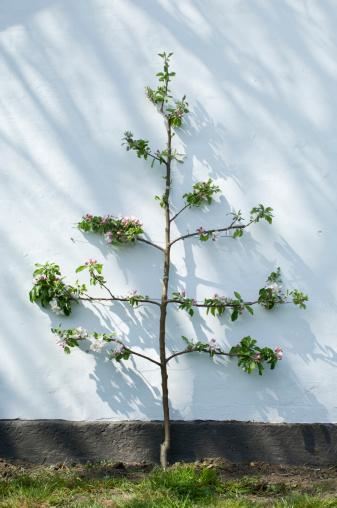 Prune「Espaliered apple tree (Malus)」:スマホ壁紙(19)