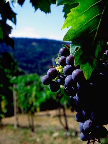 Grove「Purple grapes on the vine」:スマホ壁紙(2)