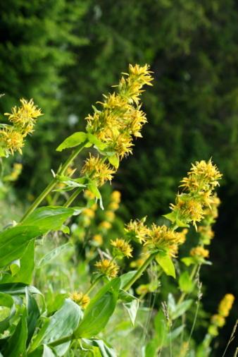 Gentian「Flowers of gentian in Haut-Jura, France」:スマホ壁紙(9)