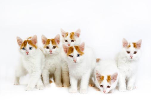 Kitten「Turkish van」:スマホ壁紙(0)