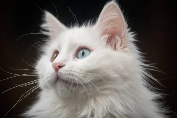 Domestic Cat「Research Center Breeds Turkey's Famous Van Cat」:写真・画像(16)[壁紙.com]