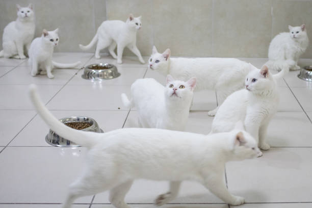 猫「Research Center Breeds Turkey's Famous Van Cat」:写真・画像(18)[壁紙.com]