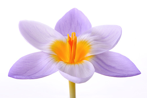 Crocus「Crocus in front of white background」:スマホ壁紙(7)