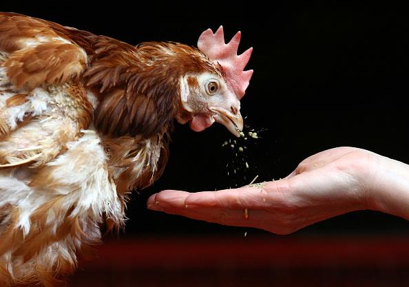Hen「Britain's Last Battery Hen Is Released」:写真・画像(10)[壁紙.com]