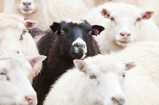 Ewe「Black sheep amongst white Icelandic sheep.」:スマホ壁紙(6)