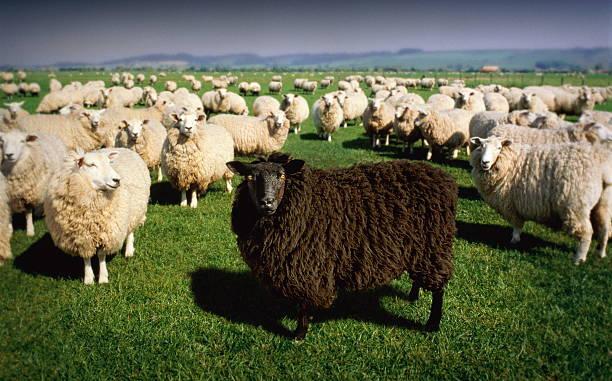 Black sheep standing amongst flock of white sheep (Digital Composite):スマホ壁紙(壁紙.com)