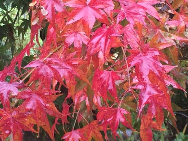 Acer palmatum leaves in autumn:スマホ壁紙(壁紙.com)