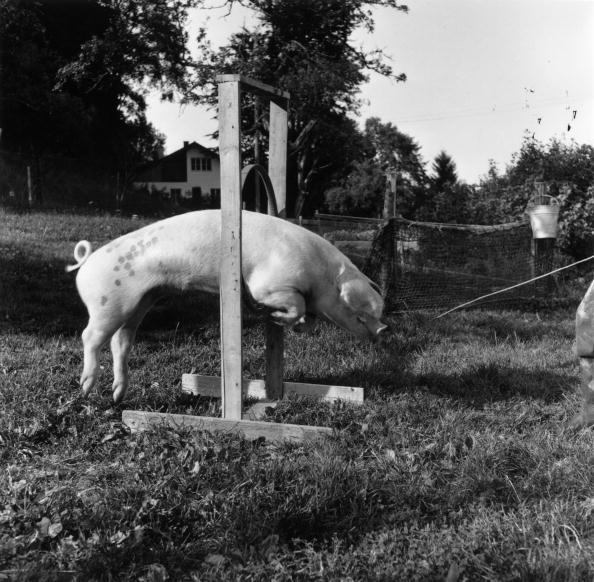 動物「Jumping Pig」:写真・画像(14)[壁紙.com]