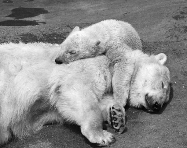 Sleepy Bears:ニュース(壁紙.com)