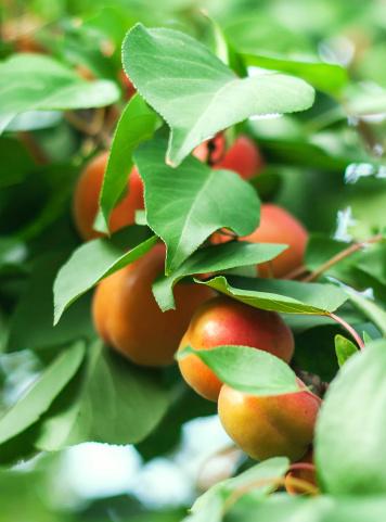 Apricot Tree「Apricot」:スマホ壁紙(10)