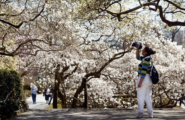 春「Cherry Blossoms Bloom in New York」:写真・画像(19)[壁紙.com]