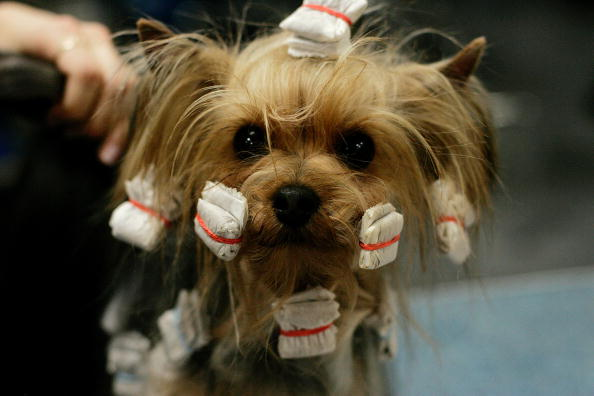 Focus On Foreground「129th Westminster Kennel Club Dog Show」:写真・画像(16)[壁紙.com]